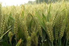 如何浇好小麦越冬水,小麦越冬管理方法