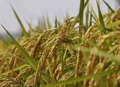 9月初水稻种植要点有哪些,如何进行科学管理