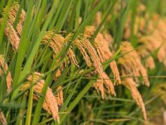 九月初稻飞虱及稻纵卷叶螟如何防治,有哪些注意事项