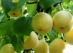 梨树没施基肥怎么办,梨树施肥方法总结