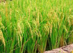 水稻直播田杂草多怎么办,除草的方法是什么