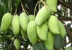 芒果冬季如何种植管理,安全过冬方法是什么
