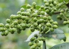 藤椒的育苗技术要点,藤椒应该好养吗,怎么养殖