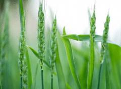 哪些小麦需要冬灌,冬灌需要注意些什么