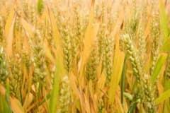 2021年中秋节前小麦价格预测:小麦会涨到1.3吗?附各地今日价格!