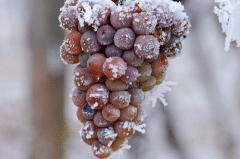 葡萄冬季防寒措施有哪些,需要注意些什么