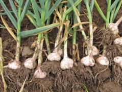 大蒜春季管理方法,大蒜应该好养吗,怎么养殖