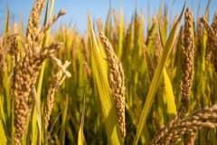水稻价格2021年最新行情:现在水稻价格是多少钱一斤?附今日价格!