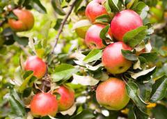 春季苹果树种植方法有哪些,水肥管理技术要点