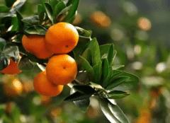 柑橘红蜘蛛出现原因,防治对策有什么
