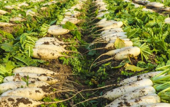 春萝卜裁培方法 萝卜应该怎么养殖