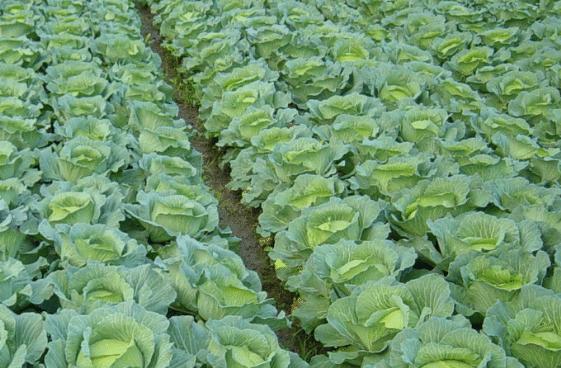 桑园冬季间作甘蓝需要注意什么 甘蓝怎么种植