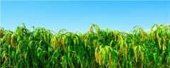 谷子亩产一般多少斤