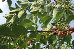 冬季桑园管理工作要点,桑树冬季生长条件总结