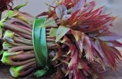 香椿怎么家庭种植,香椿需要什么生长条件