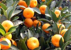 冬季柑橘果园重大病虫害防控,柑橘需要怎么防治病害