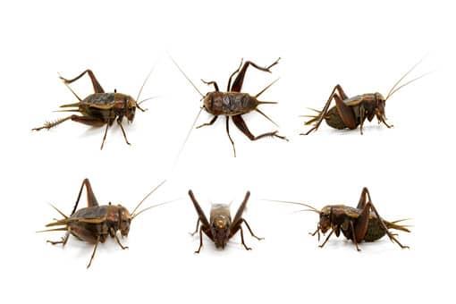 蟋蟀是益虫还是害虫