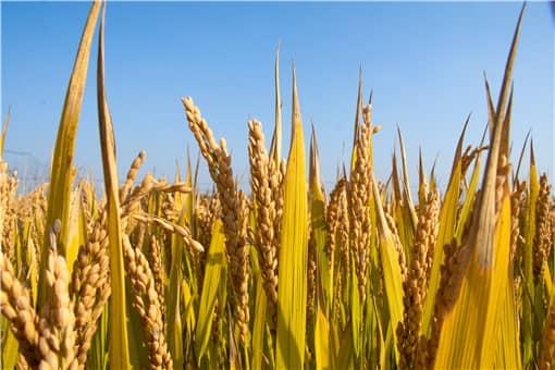 2021年水稻补贴一亩地多少钱