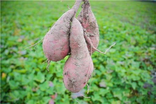 红薯种植补贴