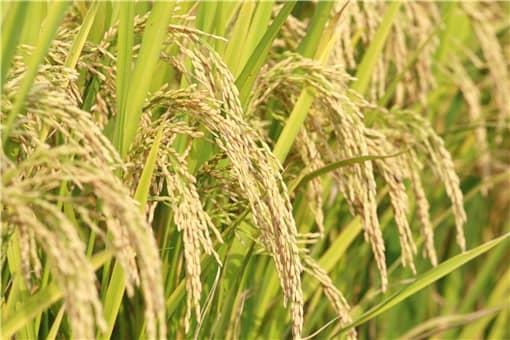 稻谷价格最新行情2021