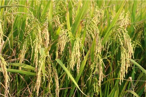 稻谷价格现在多少钱一斤