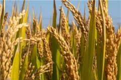2021年水稻补贴标准:一亩地多少钱?具体什么时候下来?附各地最新