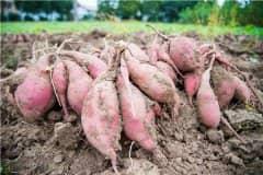 红薯几月挖最好?2021年种植红薯国家有补贴吗?附最新每亩补贴标准