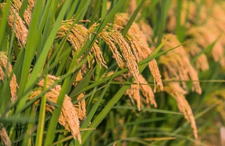 水稻稻瘟病与纹枯病发生的原因是什么 防治措施有哪些