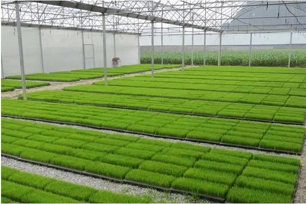 水稻怎么育秧 水稻置床处理方法是什么