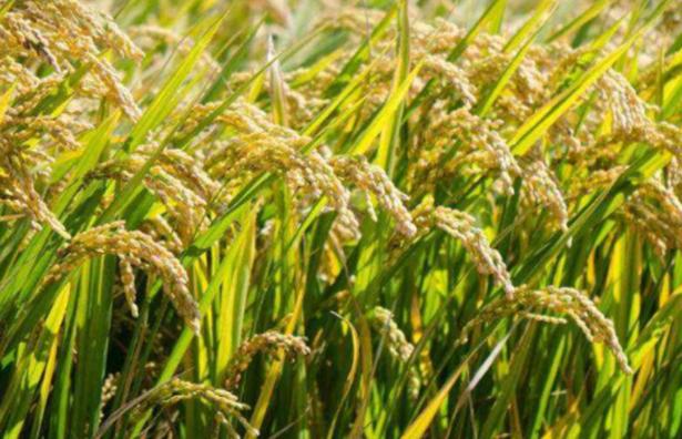 单季杂交水稻超高产栽培方法是什么 如何种植能高产