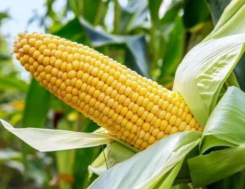 玉米出现大小苗是怎么回事 怎样进行预防