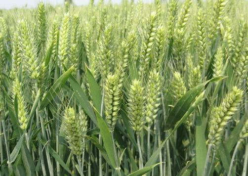 小麦拔节期出现黄叶和干尖的原因是什么 如何防治