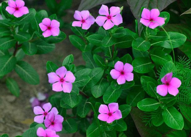 长春花的寓意和象征是什么 养殖时需要注意些什么
