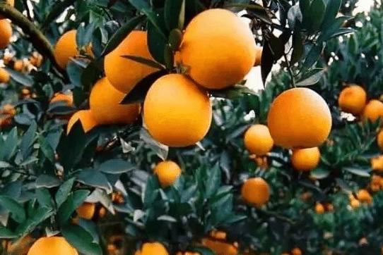 柑橘为什么裂果 防治方法是什么