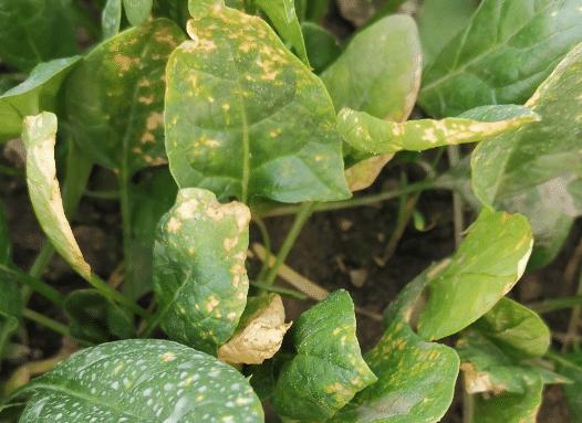 春季要防菠菜霜霉病流行 防治方法有什么