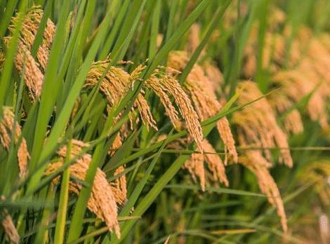 水稻洪涝灾害后该怎么办 有哪些补救措施
