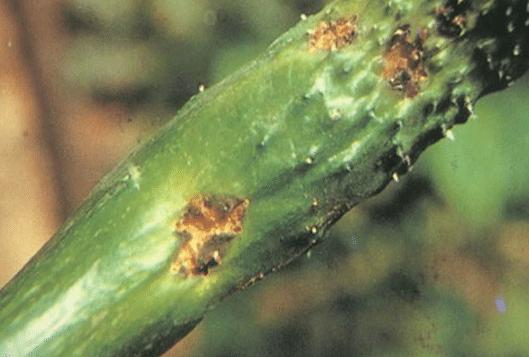 黄瓜黑星病的症状是什么样 防治方法有什么