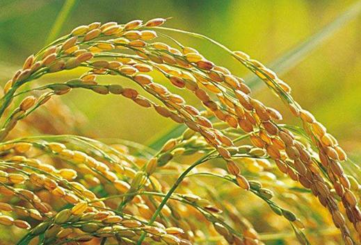 节水抗旱稻如何栽培 科学管理方法是什么