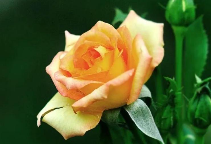 黄玫瑰不能随便送人 送黄玫瑰的含义是什么