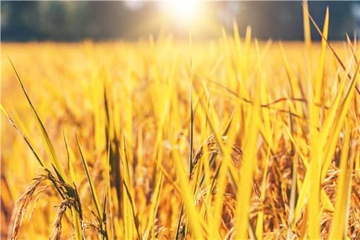 2021年水稻国家收购价多少钱一斤