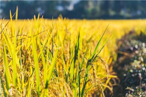 2021年水稻最低收购价是多少