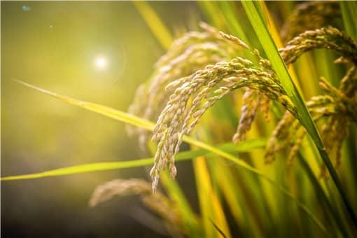 2021年水稻最低收购价