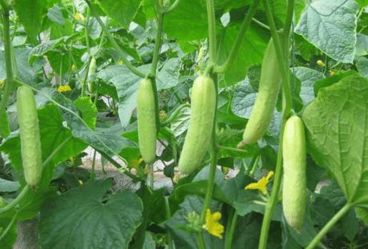 如何防治黄瓜花打顶 黄瓜种植方法总结