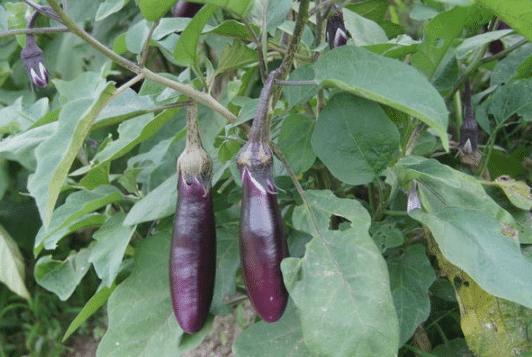 秋茄子绵疫病的防治 茄子病害怎么处理