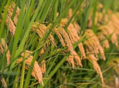 水稻洪涝灾害后该怎么办,有哪些补救措施