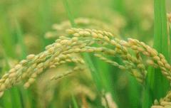 氮肥过多对水稻有什么危害,后期施的氮肥过多怎么处理