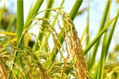 2021新稻谷价格预测多少钱一斤?今年粮食会暴涨吗?
