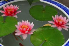 碗莲可以一直水养吗,如何养殖能开花