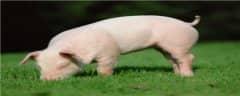 非洲猪瘟用什么药