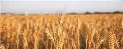 衡观35小麦株高多少